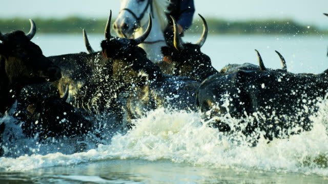 camargue bull animal livestock horse running sea cowboy - herd stock videos & royalty-free footage