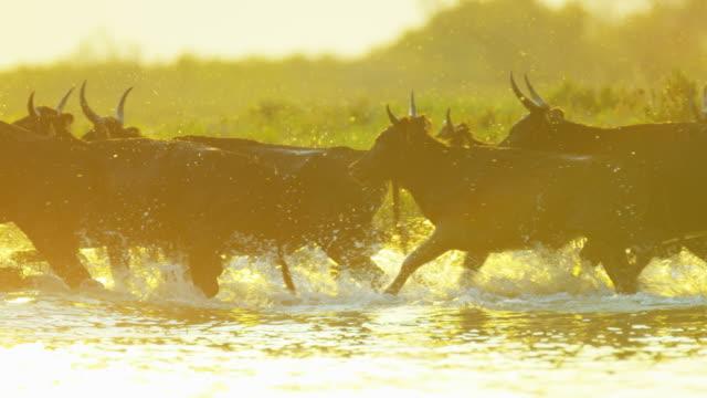camargue bull animal wild freedom water france travel - bulle männliches tier stock-videos und b-roll-filmmaterial