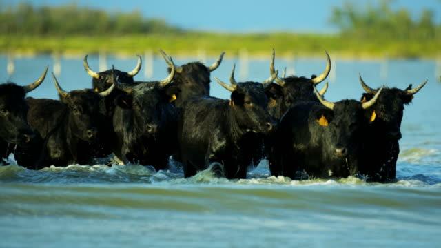 vídeos de stock e filmes b-roll de camargue bull france cowboy animal horse running sea - touro animal macho