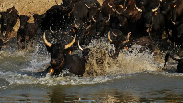 camargue bulls, bos taurus, petite camargue, gard, france - camargue stock-videos und b-roll-filmmaterial
