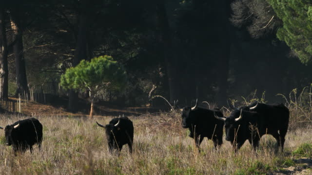 camargue bulls, petite camargue, gard, france - camargue stock-videos und b-roll-filmmaterial