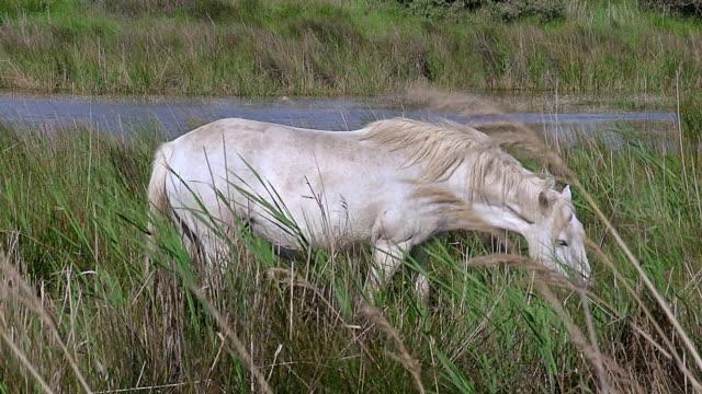 MS Camargue horse eating grass in swamp / Saintes Marie de la Mer, Camargue, France