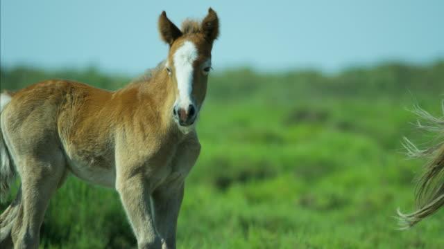 camargue horse foal baby young wild livestock travel - 子馬点の映像素材/bロール