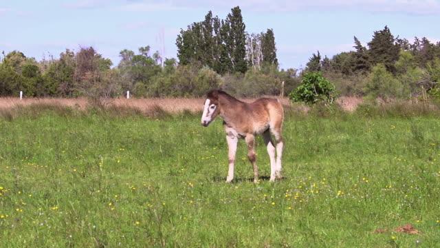 vídeos y material grabado en eventos de stock de ms ts camargue horse foal walking / saintes marie de la mer, camargue, france - animales de trabajo