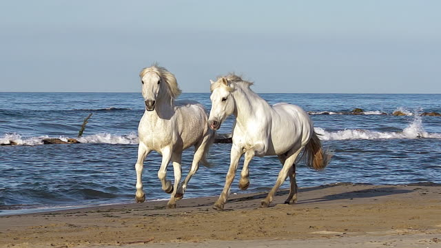 ms ts slo mo camargue horse galloping on beach / saintes marie de la mer, camargue, france - galopp gangart von tieren stock-videos und b-roll-filmmaterial