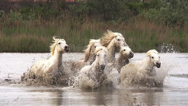 MS SLO MO Camargue horse, herd galloping through swamp / Saintes Marie de la Mer, Camargue, France