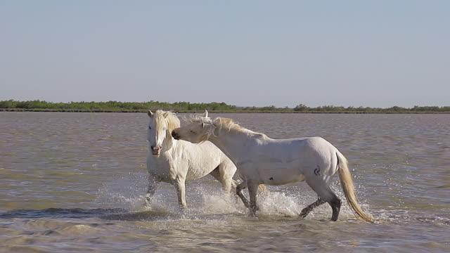 MS SLO MO Camargue Horse, stallions fighting in swamp / Saintes Marie de la Mer, Camargue, France