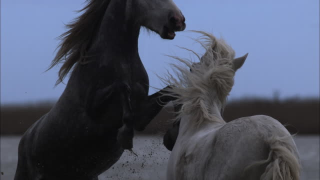 Camargue horses fighting on marsh, France.