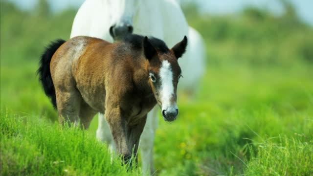 camargue horses foal baby young wild livestock travel - 子馬点の映像素材/bロール