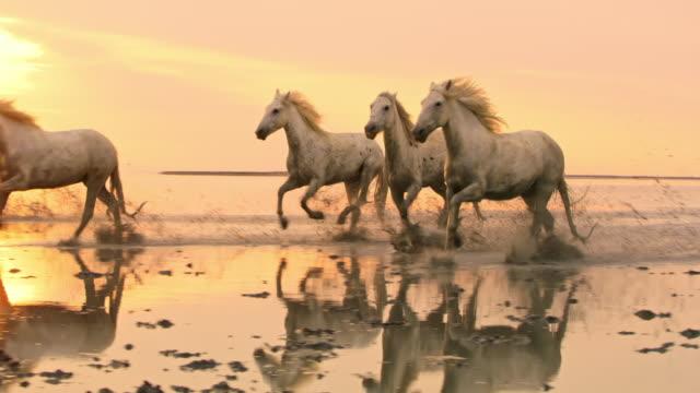 pan camargue pferde galoppieren am strand bei sonnenuntergang - galoppieren stock-videos und b-roll-filmmaterial