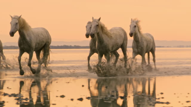 ws camargue horses galloping on the beach at sunset - gallop animal gait stock videos & royalty-free footage