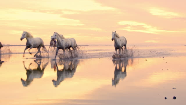 ws camargue horses galloping on the beach - animals in the wild stock videos & royalty-free footage