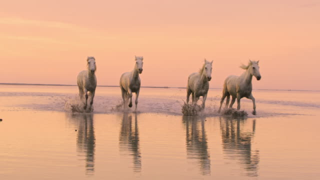 ws camargue horses galloping on the beach - trot animal gait stock videos & royalty-free footage