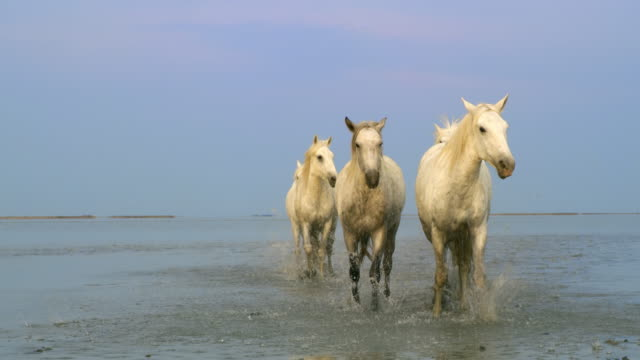 ws camargue horses galloping on the beach - gallop animal gait stock videos & royalty-free footage