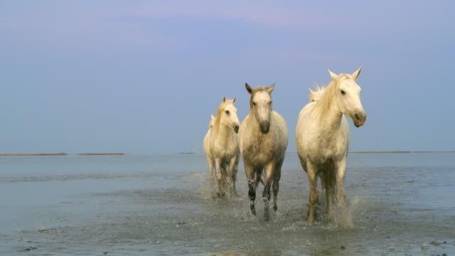ws camargue hästar galopperande på stranden - galoppera bildbanksvideor och videomaterial från bakom kulisserna
