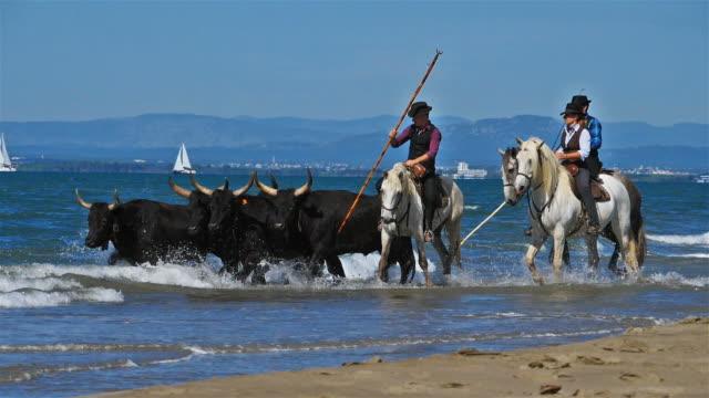 camargue horses, occitanie, france - camargue stock-videos und b-roll-filmmaterial