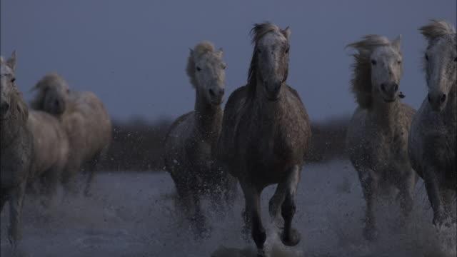 Camargue horses run on marsh, France.