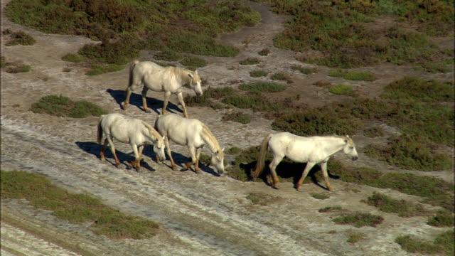 vídeos y material grabado en eventos de stock de ws, ha, ts, camargue horses walking on field, provence, france - cuatro animales
