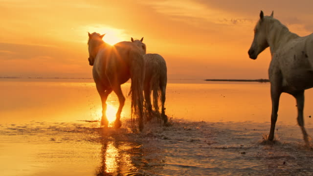 ws camargue horses walking on the beach at sunset - animals in the wild stock videos & royalty-free footage