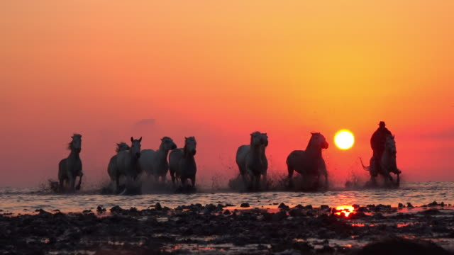 vídeos y material grabado en eventos de stock de la ws camargue horses with herders gallop to camera in shallow sea with sunset in background - naranja color