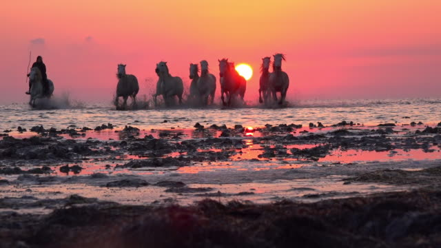 la ws camargue horses with herders trot to camera in shallow sea with sunset in background - back lit stock videos & royalty-free footage