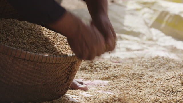 vídeos de stock e filmes b-roll de cambodia rice farming - vietname