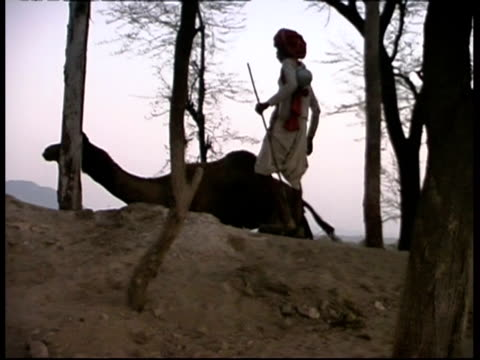 vídeos de stock, filmes e b-roll de ms camel and shepherd walking around amongst trees, rajasthan, india - animal de trabalho