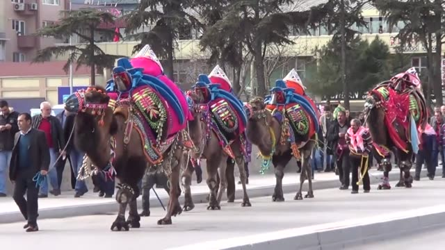 camel beauty contest held by biga municipality attracts great attention in canakkale turkey on february 04 2017 prior to the contest which's... - beauty contest stock videos and b-roll footage
