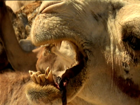 camel bellows revealing yellow teeth and rope tied around lower jaw sahara desert - zahnbelag stock-videos und b-roll-filmmaterial