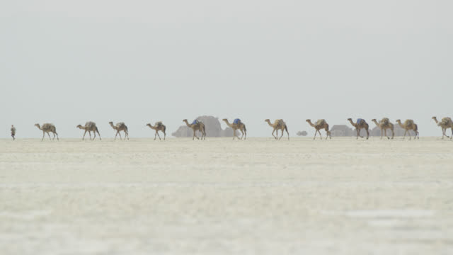 camel caravan in dalloll, walking on the salt lake - camel stock videos & royalty-free footage