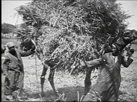 camel carrying large load of hay. camel carrying large load of hay. on january 01, 1925 in palestine - palestinian territories stock videos & royalty-free footage