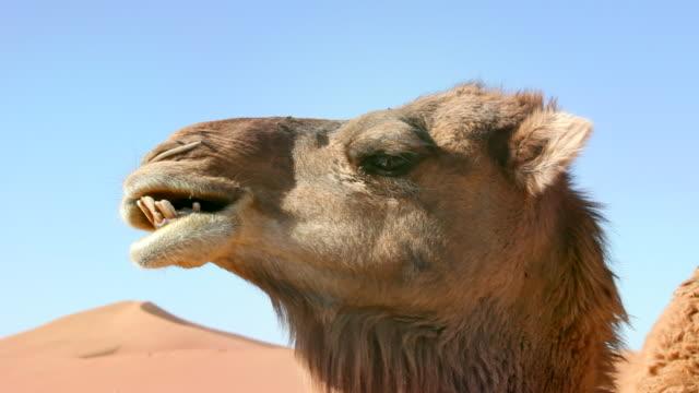 camel chewes. erg-chigaga sand dunes. sahara desert, mhamid, morocco - camel stock videos & royalty-free footage