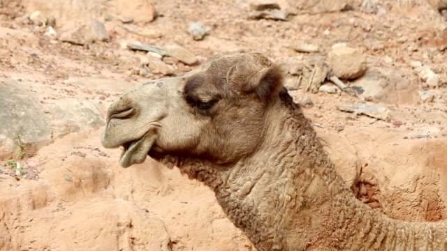 Camel Kauen der cud HD1080