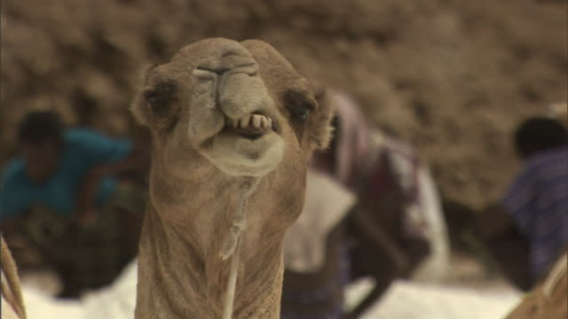 a camel chews its cud while laborers scoop salt into bags. - masticare video stock e b–roll
