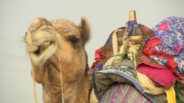 vídeos y material grabado en eventos de stock de camel close up of face, chewing - animales de trabajo