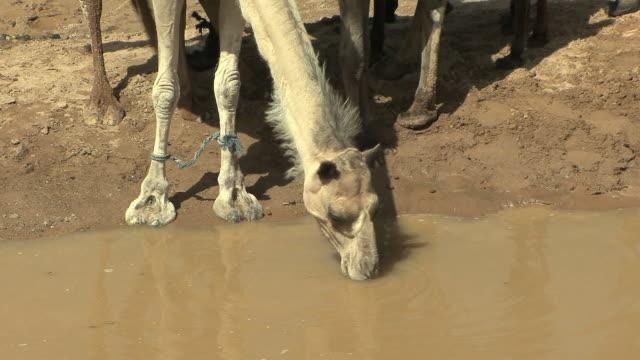 ms camel drinking water at watering hole, merzouga, morocco - ラクダ点の映像素材/bロール