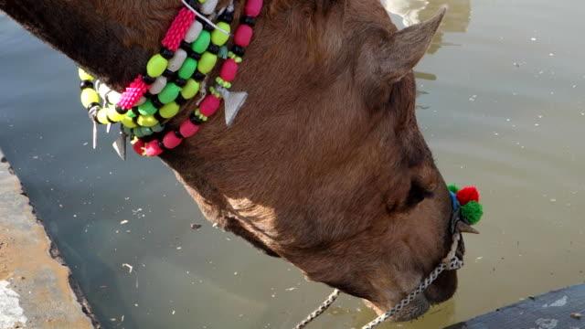 Camel drinks water