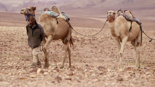 WS PAN Camel driver with his three camels moving in desert area / Israel