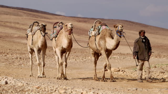ws pan camel driver with his three camels moving in desert area / israel  - camel stock videos & royalty-free footage