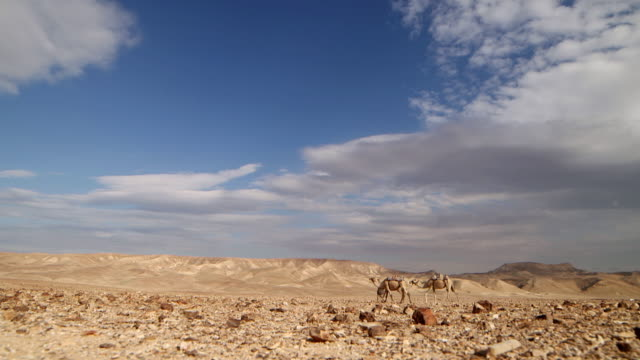 WS Camel driver with his three camels moving in desert area / Israel