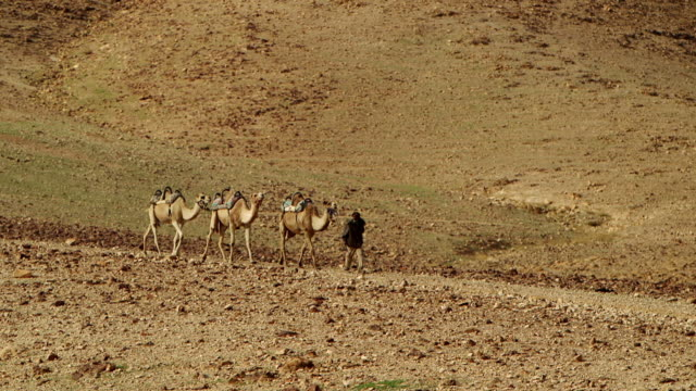 WS TS Camel driver with his three camels moving in desert area / Israel