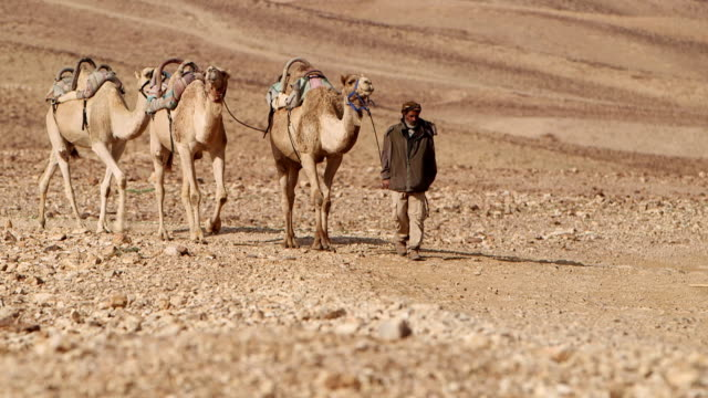 vídeos de stock e filmes b-roll de ws r/f tu camel driver with his two camels moving in desert area / israel - israel