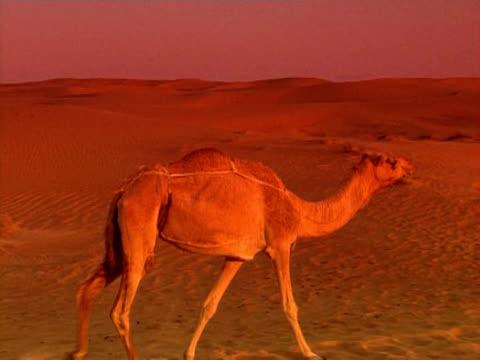 camel dubai - 2008 stock videos and b-roll footage
