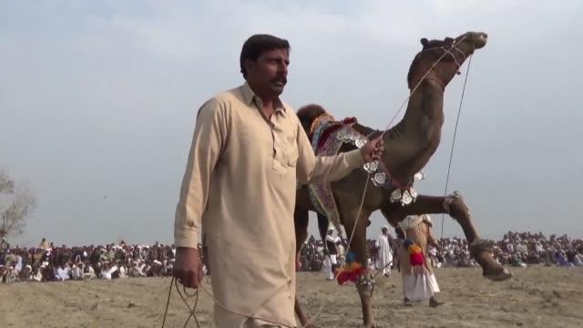 vídeos y material grabado en eventos de stock de camel fighting is illegal in pakistan but it still takes place and can draw significant crowds - mamífero ungulado