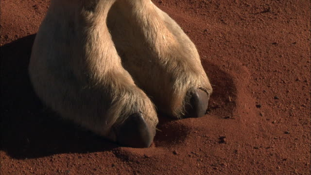 camel footprints - footprint stock videos and b-roll footage