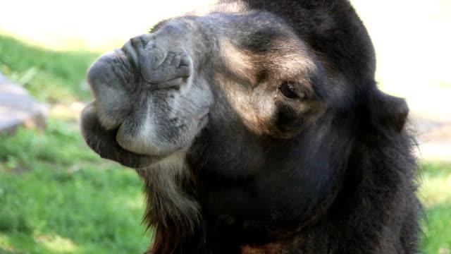 vidéos et rushes de chameau drôle de tête - chameau