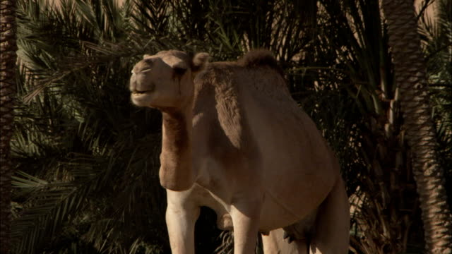 A camel grazes near a grove of palm trees in Shibam Yemen.
