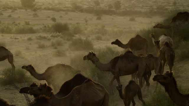 "vidéos et rushes de camel herd in desert, india. - ""bbc natural history"""