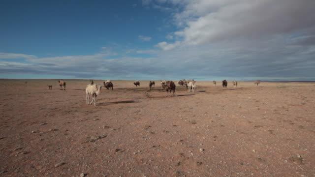 camel herd in gobi desert, mongolia - ラクダ点の映像素材/bロール