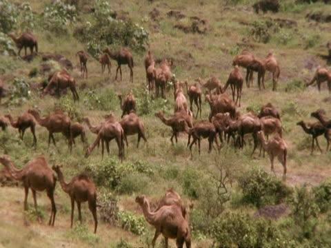 camel herd in mountain greenery, walking & grazing, oman - gemeinsam gehen stock-videos und b-roll-filmmaterial